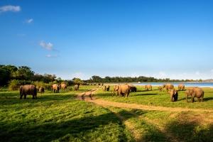 Minneriya Elephant Gathering